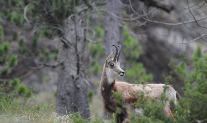 Aoos is home to 5 large mammals
