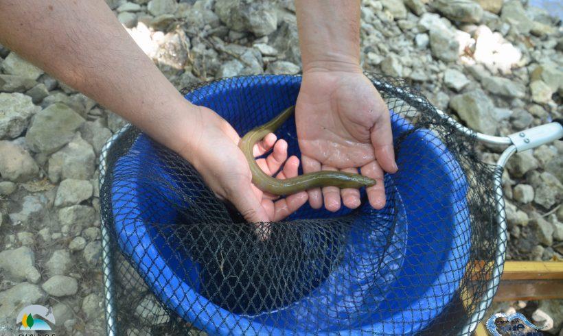 The European eel
