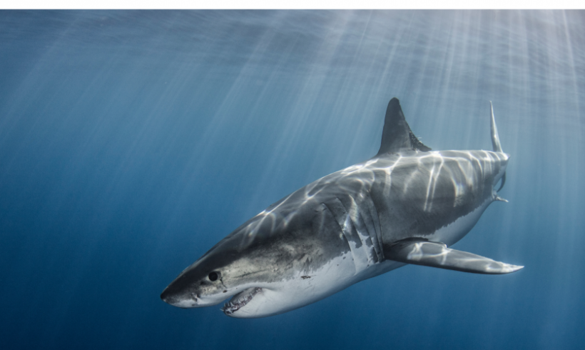 Joint call for the protection of sharks in Greece
